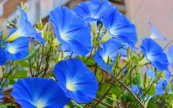 Morning Glory,ипомея,Blue flowers,голубые цветы