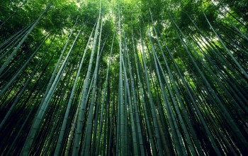 est,Bamboo,trees