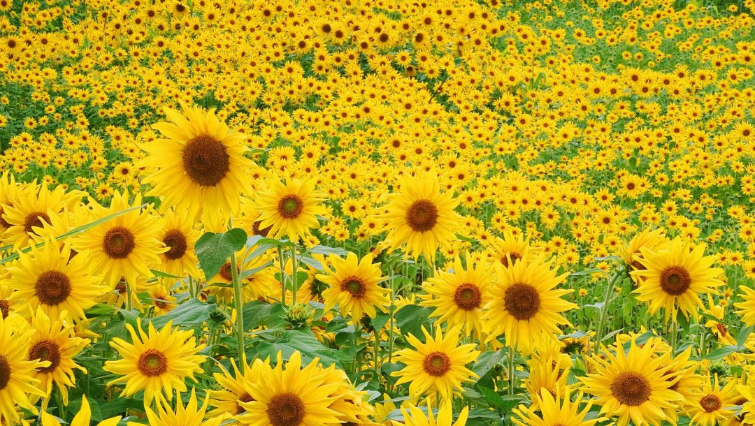 sunflower,field
