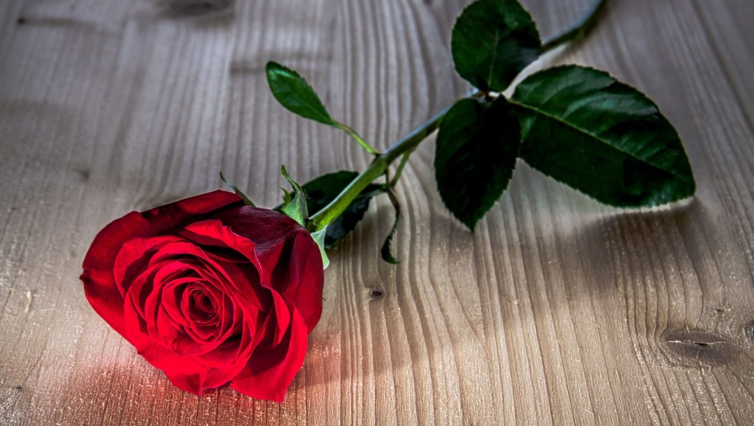 flower,rose,Red,Red