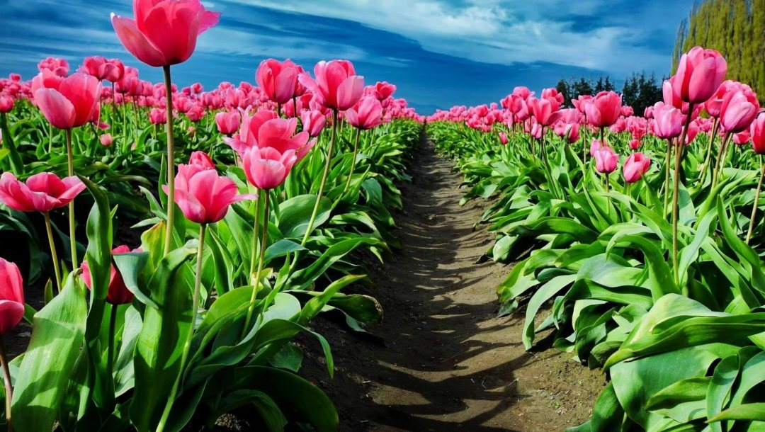 tulip,garden,path,fields