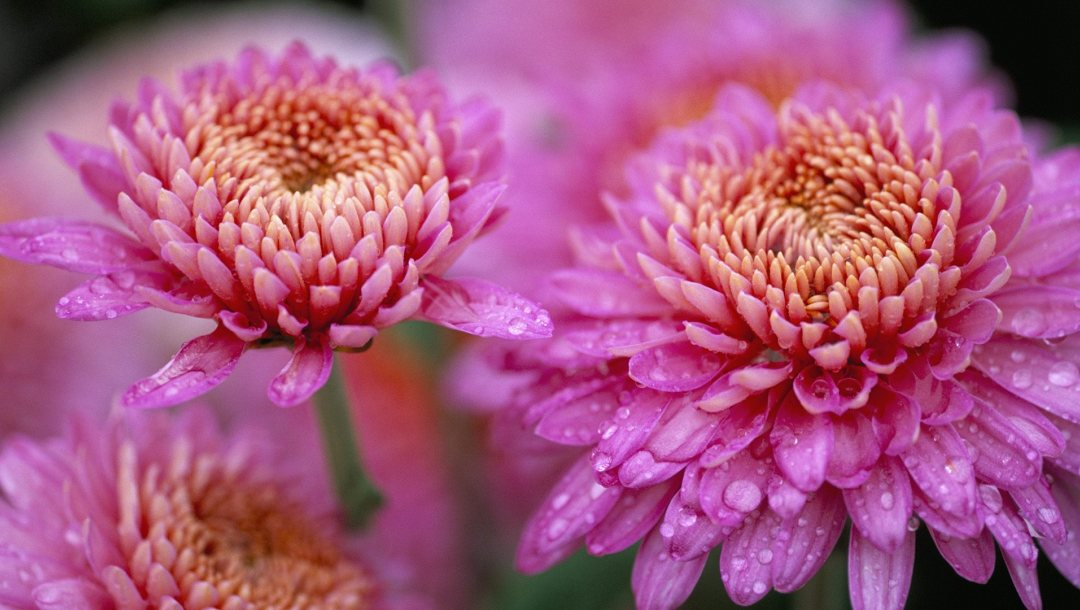flower,chrysanthemum