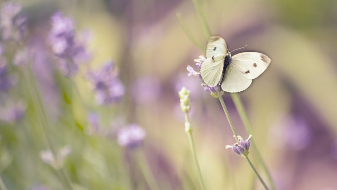 Butterfly,White