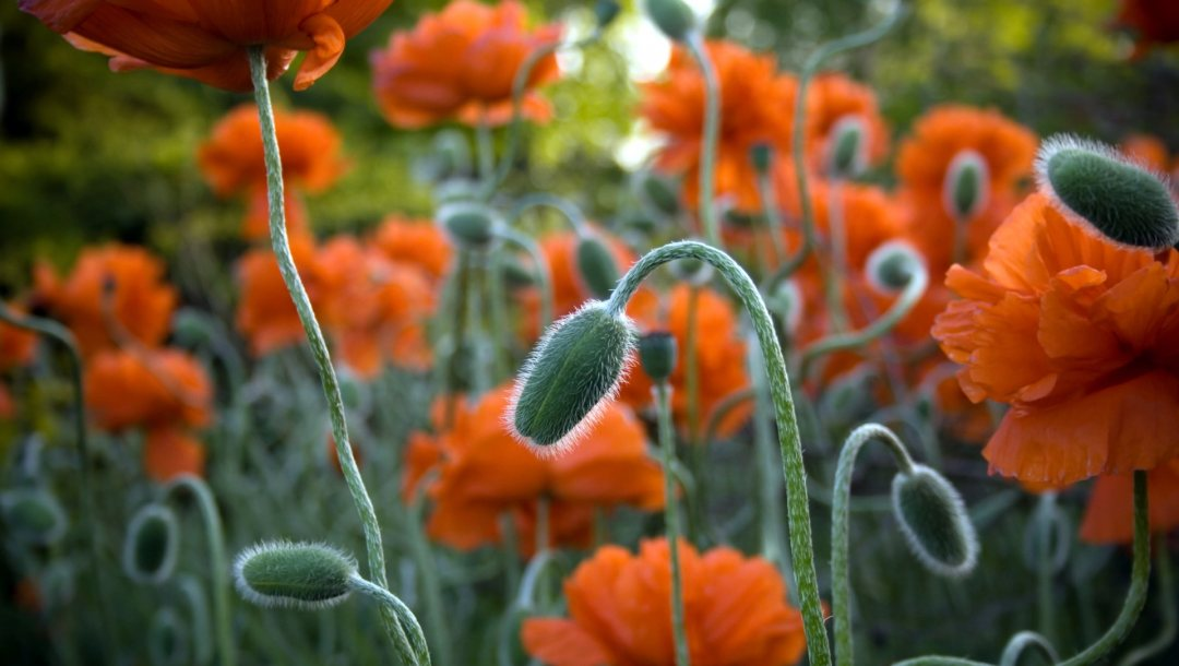 field,orange,flower