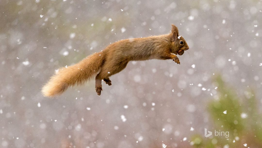 Red,squirrel