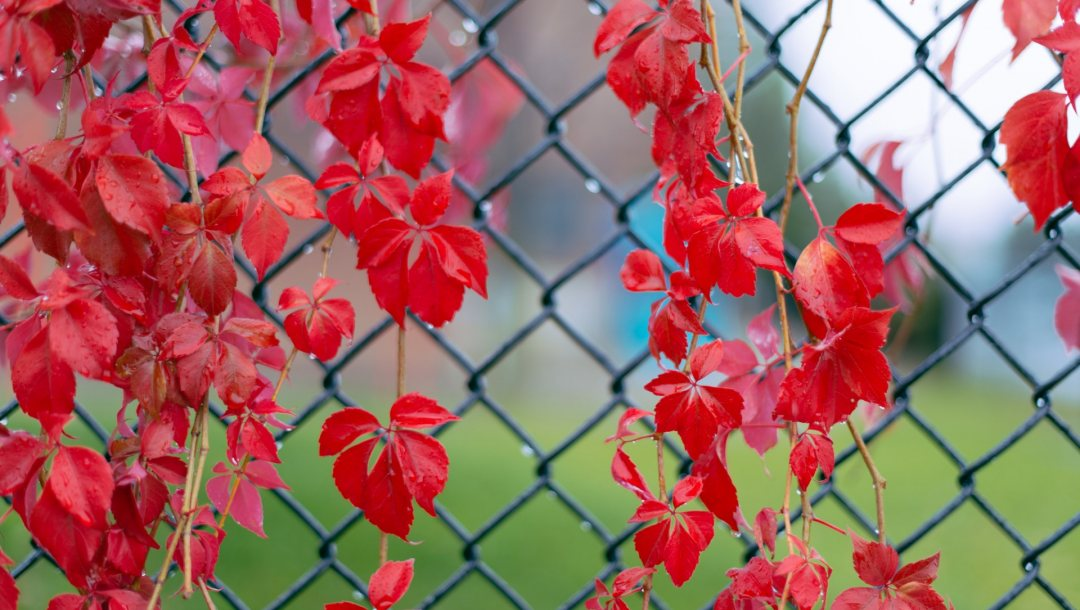 after,leaves,Red,rain