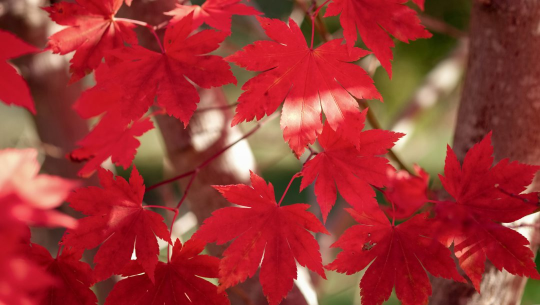 trees,leaves,maple,Red