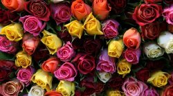 flowers,colors,rose