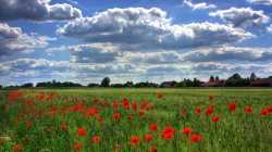 Red,flowers,poppies,field