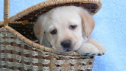 корзина,basket,puppy,щенок