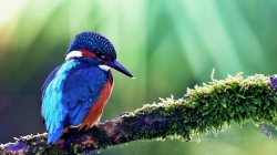 kingfisher,common,bird