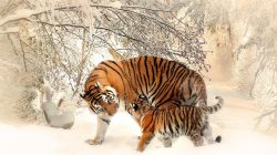 cub,Tiger,with,snow