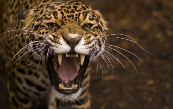 growling,Jaguar