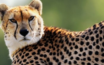 cheetah,Face