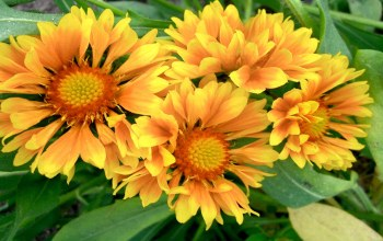 yellow,gaillardia