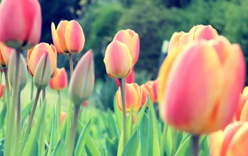 tulips,Easter