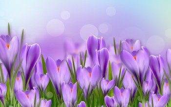 Purple,beautiful,crocus