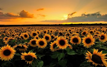 field,sunflower