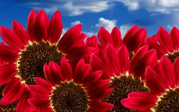 sunflowers,Red,pure