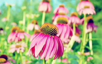 Purple,coneflower