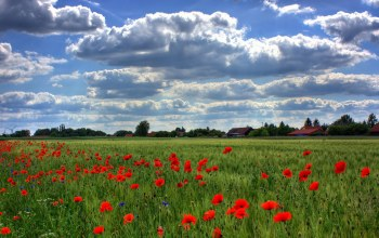 Red,poppies,field