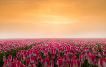 tulip,sunrise,field