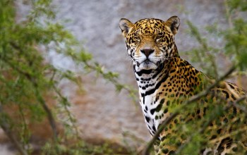 animals,Jaguar