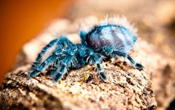 animals,tarantula,Spider,тарантул,паук