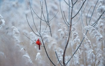 frost,winter,Red,snowing,freeze,cardinal,wildlife