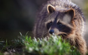 Енот,animals,raccoon