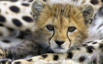 baby,cute,cheetah