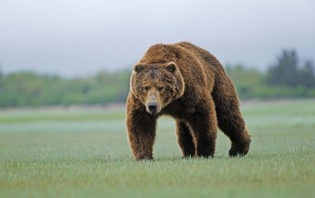 Grizzly,big