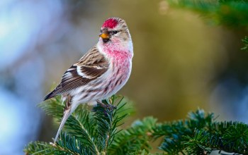 beautiful,redpoll