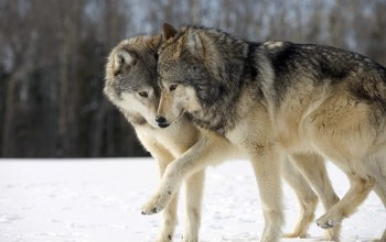 couple,wolves