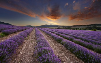 field,Purple,lavender,scenery