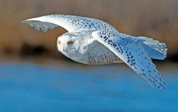White,Owl,flying