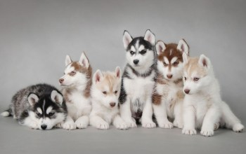 siberian,puppies,husky
