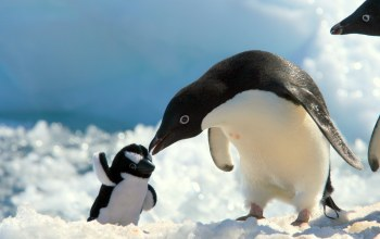baby,penguin,adelie,with