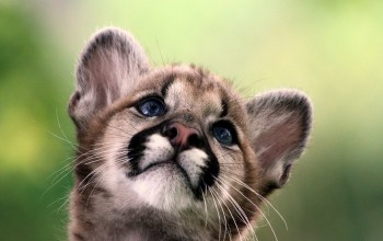 cougar,cub,Animal,cute