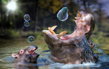 playing,with,balloon,hippos,soap