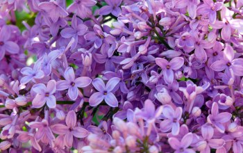 lilac,Purple,background