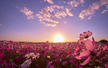 flower,sunrise,field