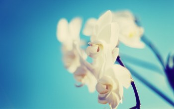 Orchid,White,blue,background