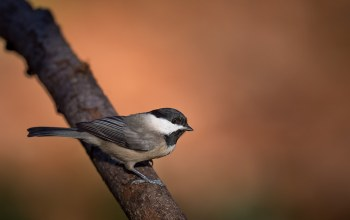 branch,wildlife,chickadee