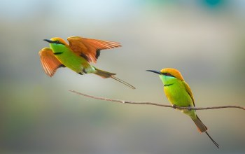 bee-eater,wildlife,couple,Birds