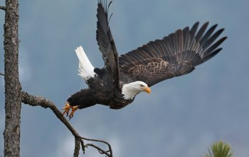 wings,Animal,rape,tree,bird of prey,flying,fly,wild,branch,eagle