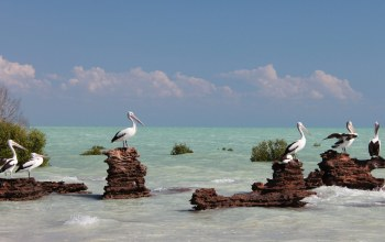 pelicans,beautiful,Birds