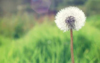 Dandelion,countryside