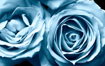 blue,roses