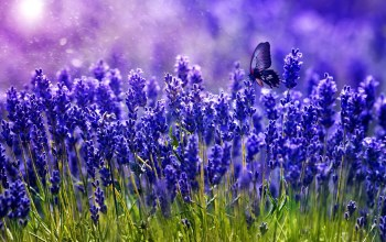 field,flower,Butterfly,blue